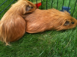 Guinea pigs boarding in Marlow