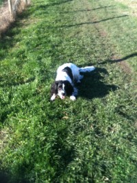 Spaniel on dog walk in Marlow